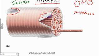 Muscle Muscle Tissue And The Sarcomere.wmv