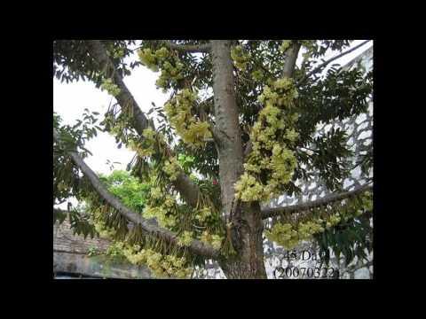 Reproduksi Vegetatif Buatan - Mencangkok Puring (Codiaeum variegatum)