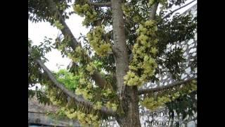 Video Growing of Durians (HD1080p) MP3, 3GP, MP4, WEBM, AVI, FLV Agustus 2018