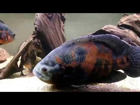 cichlid - Giant oscar cichlid. Astronotus ocellatus. 1.1 kg. 34 cm. 13.5