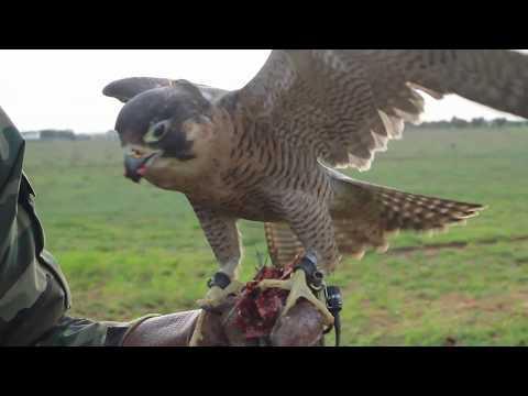 Falcon Farm: La falconeria nel Salento