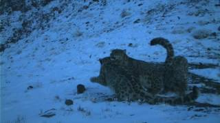 Watch rare footage of a family of four wild snow leopards - a mother and her three almost fully grown cubs - in Mongolia's Tost Nature Reserve.