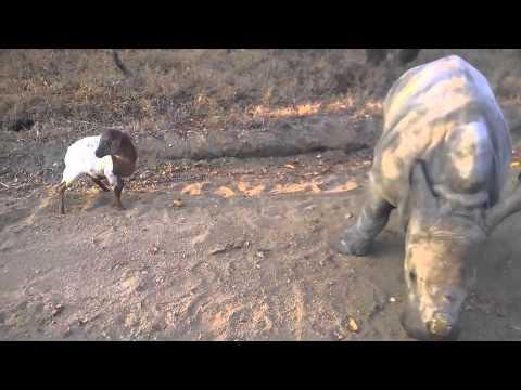 גרטי הקרנף היתום מנסה לחקות את הדילוגים של חברו העז