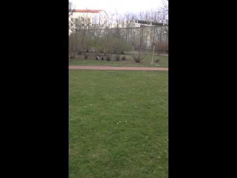 FUNNY Chihuahua chase. Mother dog chasing daughter dog and gets frustrated