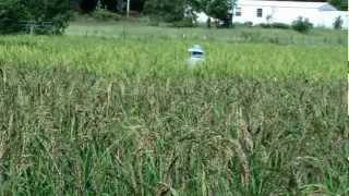 Hmong Alabama Rice Farming part 1 2012