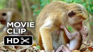 Nonton Monkey Kingdom Movie Clip   Kip  2015    Disneynature Documentary Hd Film Subtitle Indonesia Streaming Movie Download