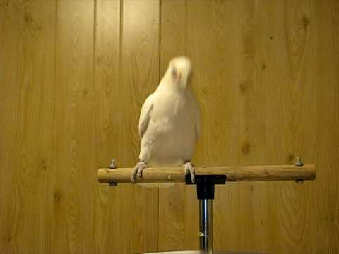 Funny parrot Frostie Shake Your Neck dance