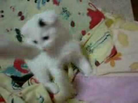 really cute small white kitten cat playing