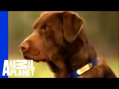 labrador really special dog!
