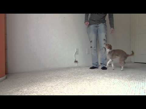 Tug holds hands- clicker dog training tricks