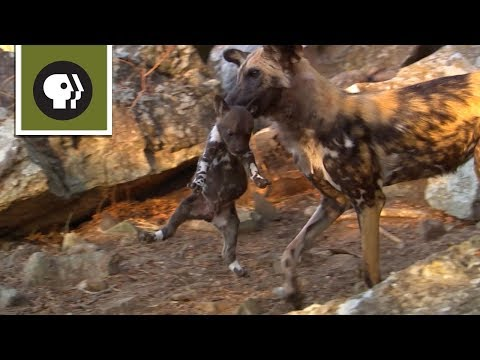 Yearling Wild Dogs take their Siblings Hostage