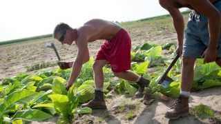 Edgerton (WI) United States  City pictures : A day in the life of an Edgerton tobacco farmer