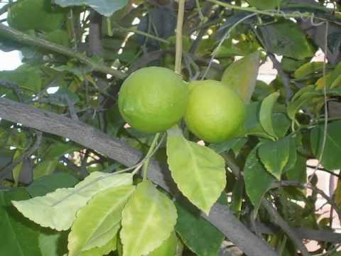 Rboles frutales tipos videos videos relacionados con for Viveros arboles frutales