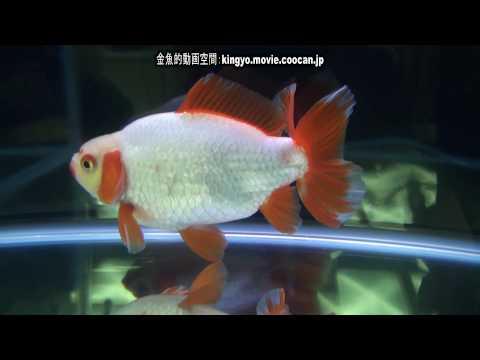 [地金]第28回日本観賞魚フェア 親魚の部 優勝:後関 雅人氏持魚