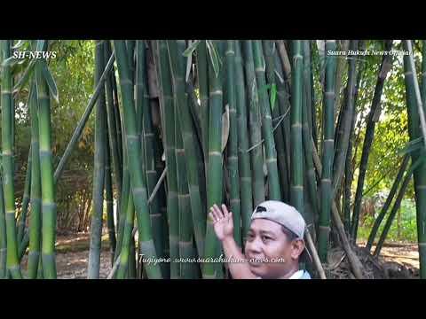 Unik ,Bambu Hidup Sejalan Dengan Alur Tunas, Diantara Bagian Batang Yang Mati