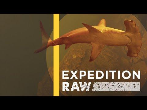 Sharks Discovered Inside Underwater Volcano