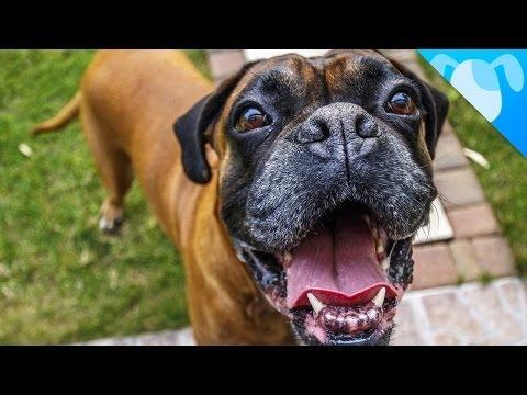 il boxer: un cane speciale!