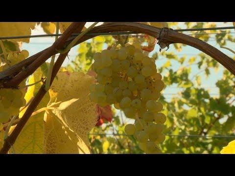 Des variétés résistantes pour une production de raisin Bio