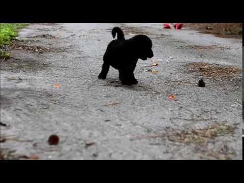 Black Magic F1b Labradoodle