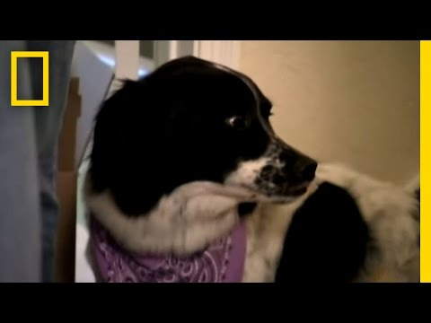 cesar millan: the aggressive border collie!