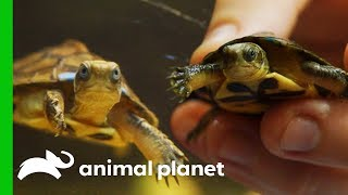 Critically Endangered Turtles Are Being Saved By Zoo Breeding Programs | The Zoo by Animal Planet