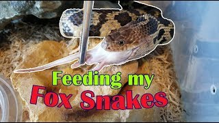 Feed My Pet Friday: Fox Snakes! by Snake Discovery