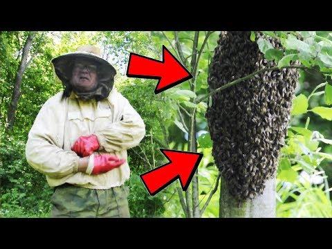 ловля пчелиный рой