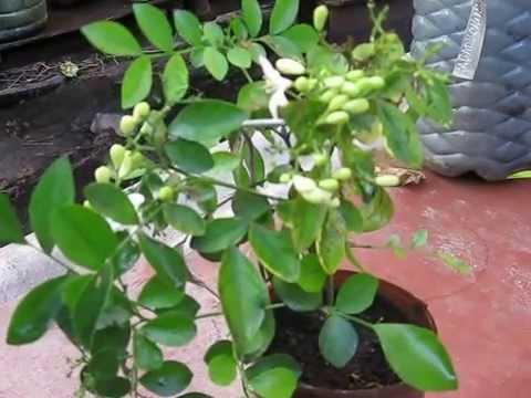 Мурайя   императорское дерево