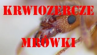 Mrówka rudnica i pyszne dżdżownice oraz pędrak. Wiosenny posiłek! :)I'm feeding my forest ants! :-D