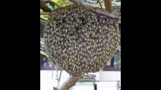 Video lebah tawon akan datang sendiri dengan cara ini MP3, 3GP, MP4, WEBM, AVI, FLV Agustus 2019