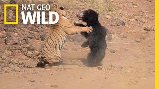 Mother Bear Fights Tiger to Save Her Cub in Dramatic Video | Nat Geo Wild by Nat Geo WILD