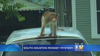There's a monkey on the loose and no one knows where he came from.