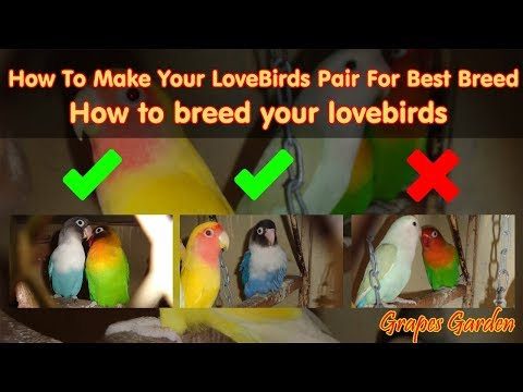 How To Make Your LoveBirds Pair For Best Breed | How To Breed Your Lovebirds