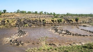 1.5 Million Wildebeests Cross A River In One Impressive Time-Lapse