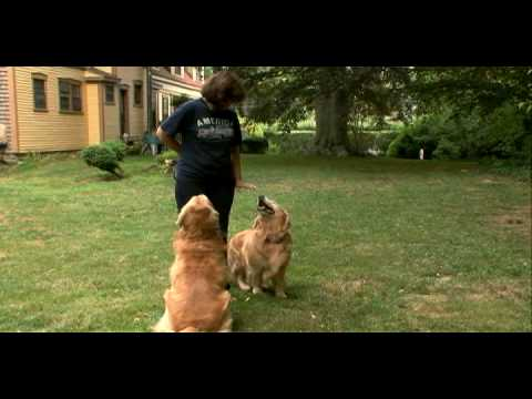 Golden - Watch More At: http://animal.discovery.com/videos/dogs-101-season-one/?smid=YTAPC-YTD-PLP Could this be the perfect family pet?