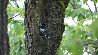 Video Semi-collared Flycatcher - Ficedula semitorquata, male singing and visiting nest hole, Armenia. MP3, 3GP, MP4, WEBM, AVI, FLV Oktober 2018