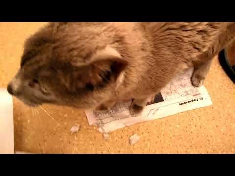 У моей кошки привычка потрошить все бумажное. А ваша кошка так делает?