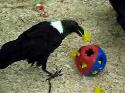 African raven works a puzzle