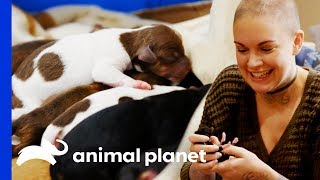 Eggo The Chihuahua Gives Birth To 8 Beautiful Puppies! | Amanda To The Rescue by Animal Planet