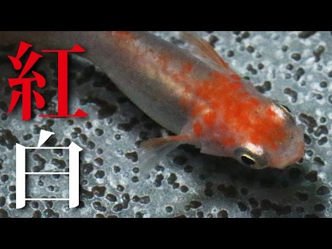 紅白メダカ(ヒカリ体型)~超美魚です~