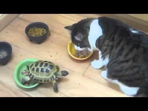 Żółw kontra dwa koty