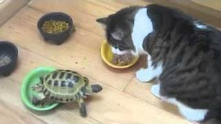 Turtle vs Two Cats