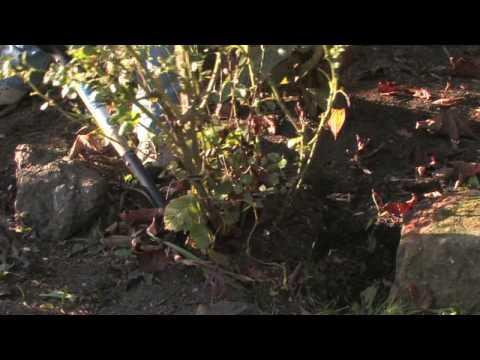 Plant Care & Gardening : How to Transplant Old Roses