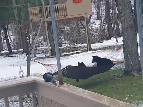 Bears Versus Hammock