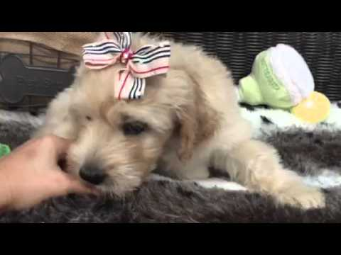 Affectionate & Handsome! The Perfect Goldendoodle!