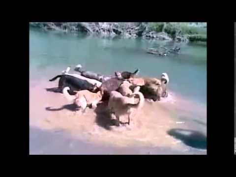 kangal dog - dogs torturing pig.