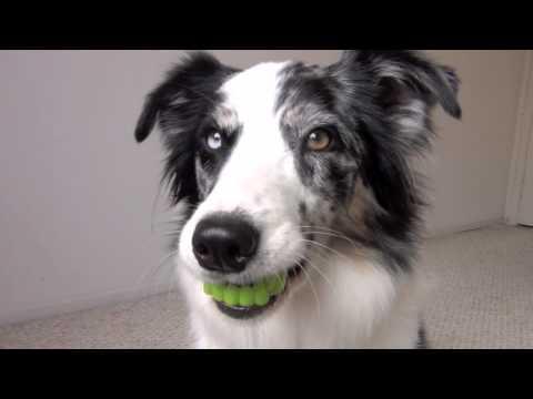Halloween teeth- clicker dog training tricks