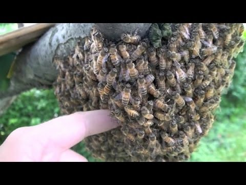 Sticking HAND into BEEHIVE!!!