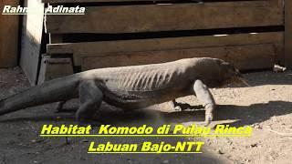 Kebetulan Mengunjungi Komodo Di Labuan Bajo