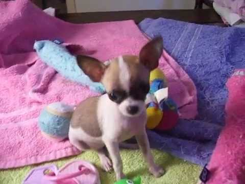 Tiny Princess Teacup Chihuahua Applehead beauty! Tinypawsandclaws